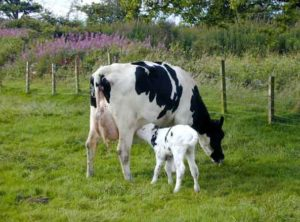 the best alternatives to vaccines are raw milk probiotics like colostrum.