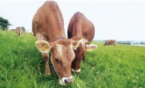 Our organic bovine colostrum comes from grass fed cows and is 100% raw & organic!