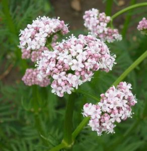 Valerian is one of the most effective of the natural supplements for mental health issues.