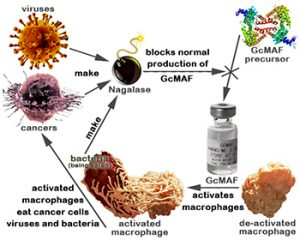 GcMAF is the cure for cancer you have been waiting for.